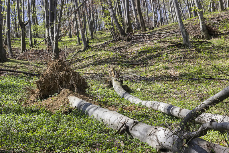 Fallen tree in the forest stock photography