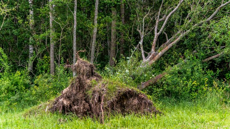 Fallen tree in the forest. Uprooted by the wind, the impact of weather conditions on the roots of brown earth, green vegetation around, summer royalty free stock photography
