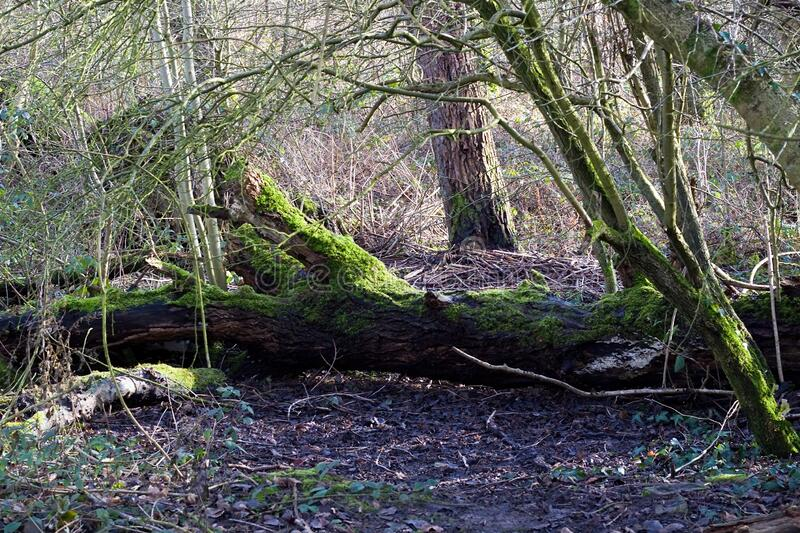 Fallen Tree With Green Moss Growing On Trunk stock image