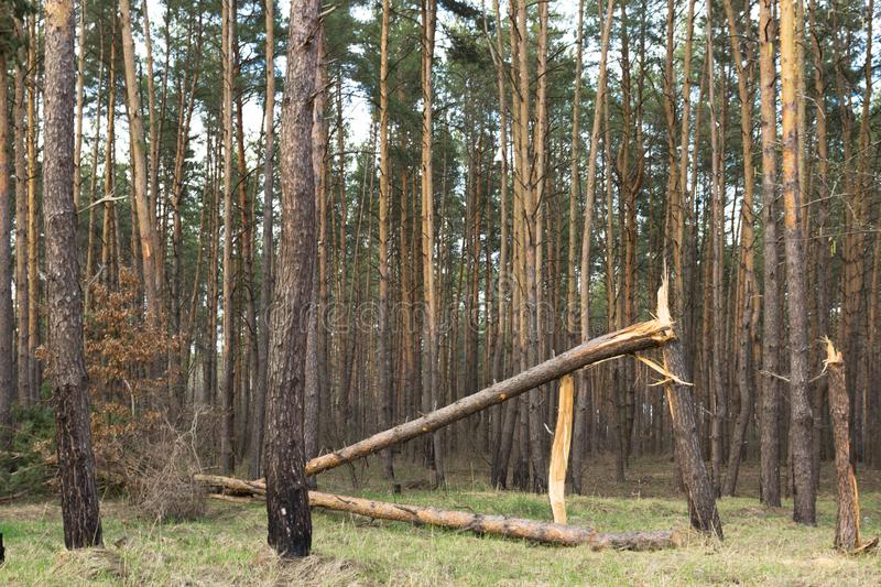 Fallen tree hurricane in the pine forest stock photo
