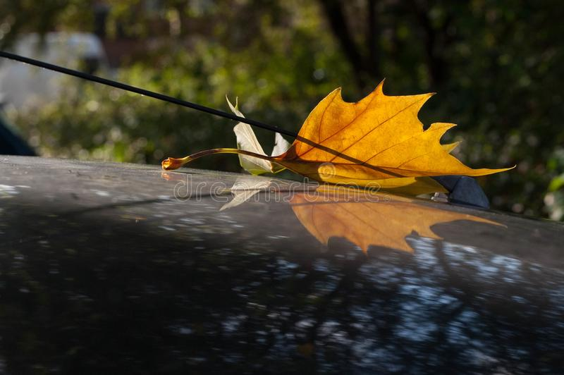 Fallen tree leaf decorates the antenna of a car. On a rainy day, It is very inspiring to see how the sheet was trapped in the antenna of the car. It is royalty free stock image