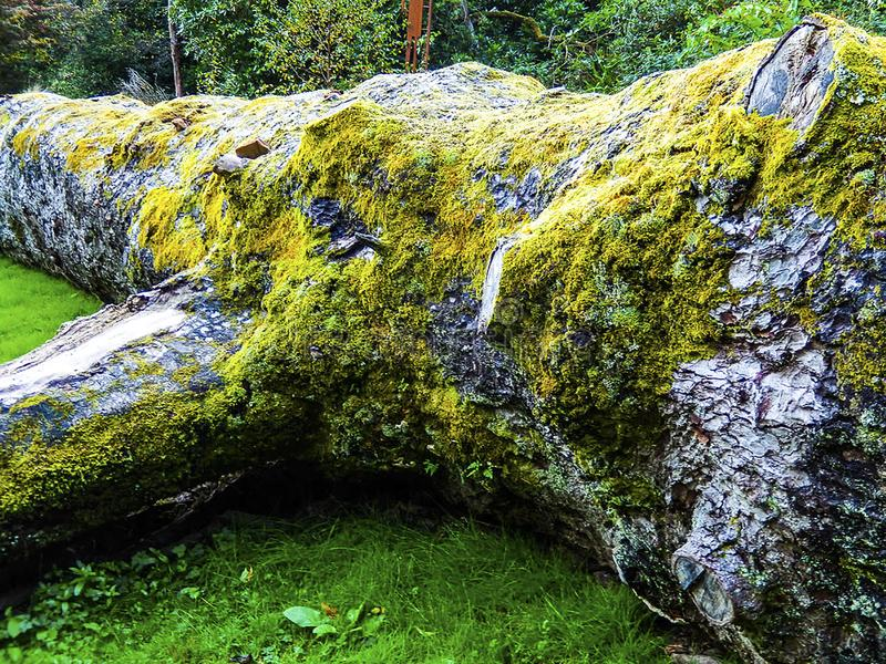 Fallen Tree. Moss covered fallen tree, Armadale Castle Grounds, United Kingdom royalty free stock photography
