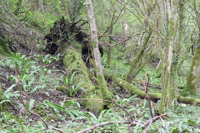 Fallen tree, Mendips stock images