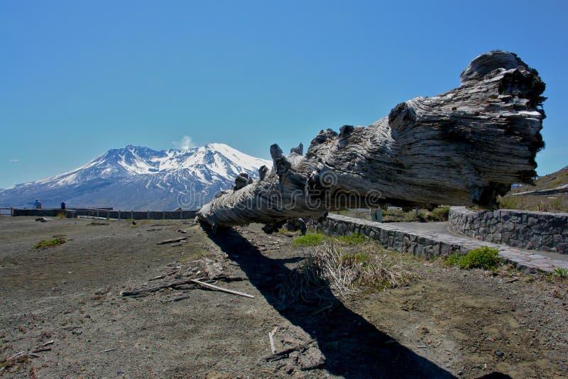 Fallen tree Mount St. Helens stock photography