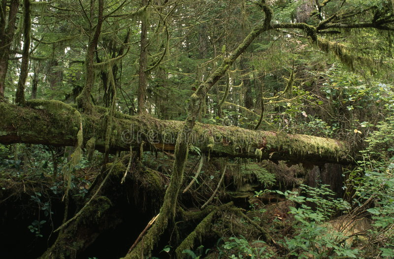 fallen tree in a rain forest royalty free stock photos