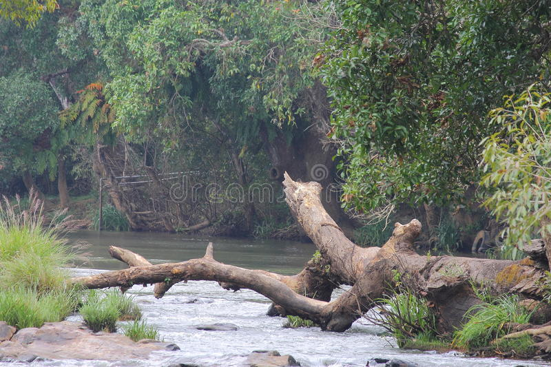 Fallen tree. A fallen tree on river side stock images