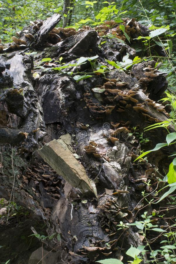 Fallen tree with rock stock photo