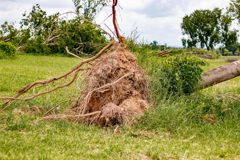 fallen tree  after storm ,  uprooted tree royalty free stock photo