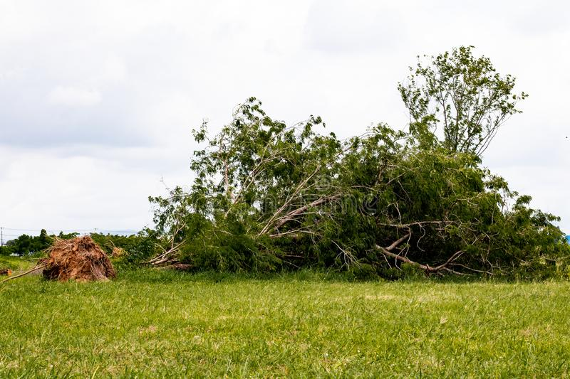 fallen tree  after storm ,  uprooted tree royalty free stock photography