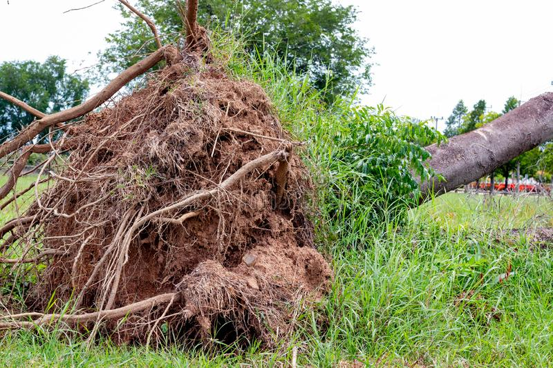fallen tree  after storm ,  uprooted tree stock photo