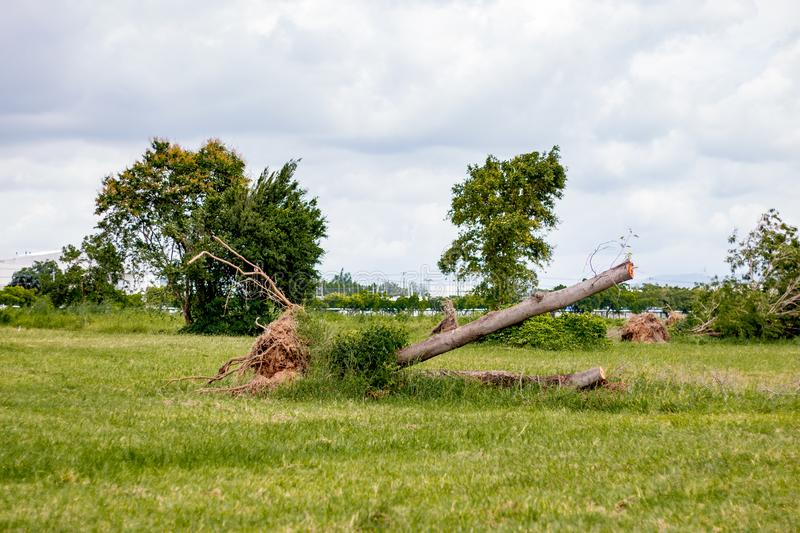 Fallen tree  after storm ,  uprooted tree. Abandoned, alentejo, branches, broken, damage, dead, evergreen, oak, grass, grove, hills, holly, holm, ilex stock image