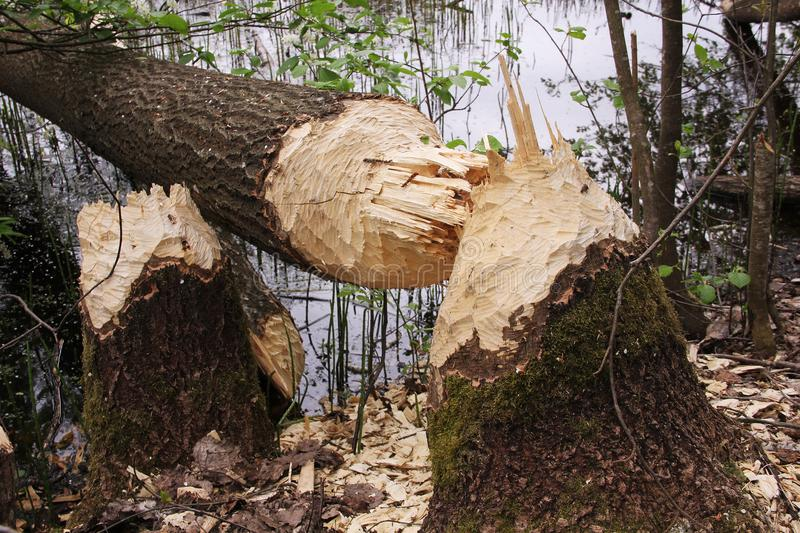 Fallen tree nibbled beavers. Fallen tree stump and nibbled the beavers in the background of lake royalty free stock image