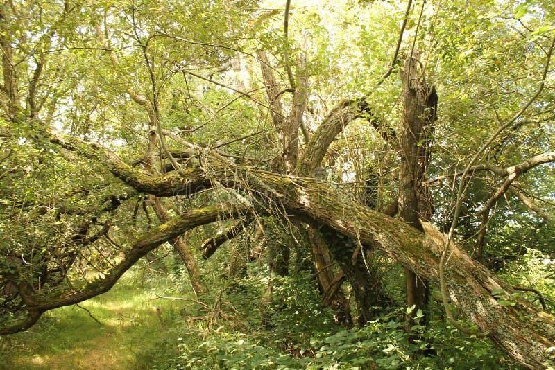 Fallen tree in summer in forrest royalty free stock image