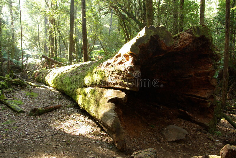 Fallen Tree Trunk. A large, hollow, fallen tree trunk in the fern forests of Mount Field National Park, Tasmania, Australia royalty free stock photography