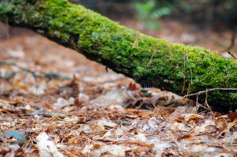 Fallen tree trunk covered with lush green moss. On the ground covered with yellow fallen leaves branch australia dandenong forest haunted ranges alfred stock image