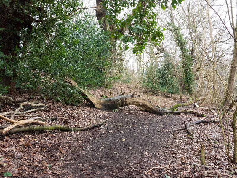 Fallen tree trunk inside forest wood in way of path. Essex; england; uk royalty free stock image