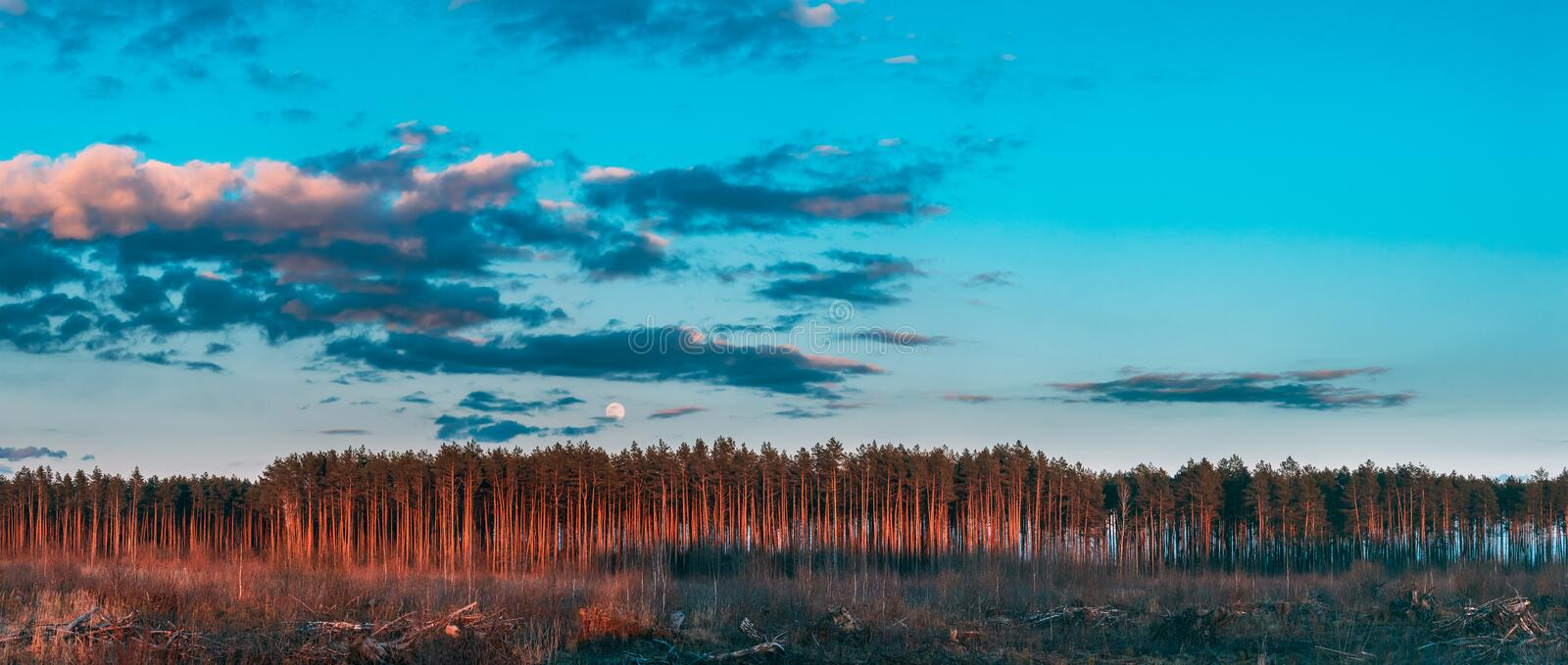 Fallen Tree Trunks And Stumps In Deforestation Area. Full Moon Rising Above Pine Forest Landscape In During Sunset Time royalty free stock photos