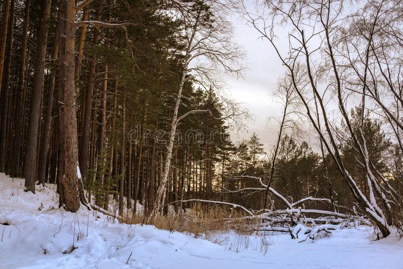Fallen tree in the winter forest royalty free stock image