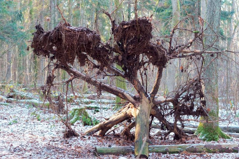 Fallen tree in winter forest, tree uprooted stock image