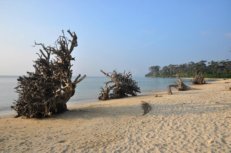 Fallen Trees In Beach Royalty Free Stock Image