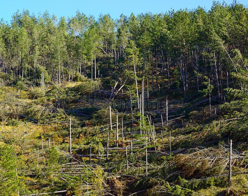 Fallen trees in coniferous forest after strong hurricane wind royalty free stock image