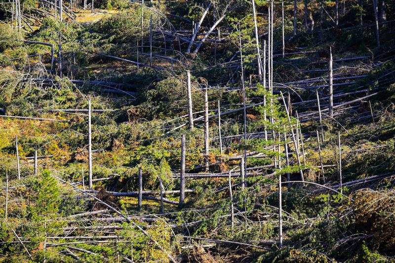 Fallen trees in coniferous forest after strong hurricane wind stock photography