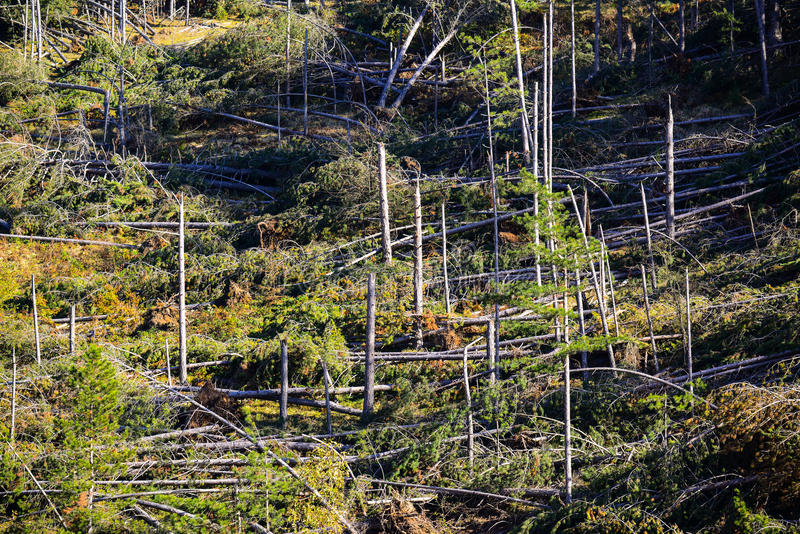 Fallen trees in coniferous forest after strong hurricane wind. This image represents Fallen trees in coniferous forest after strong hurricane wind stock image