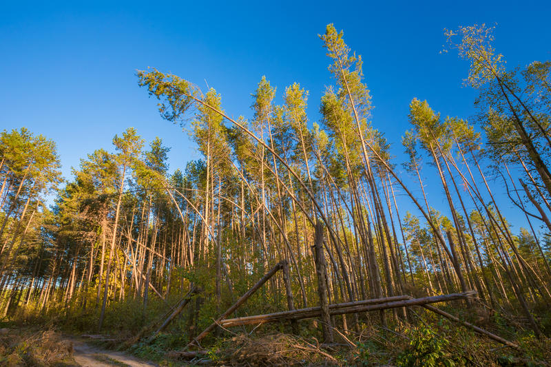 Fallen Trees In Coniferous Forest After Strong Hurricane Wind. Sunny Day royalty free stock photography