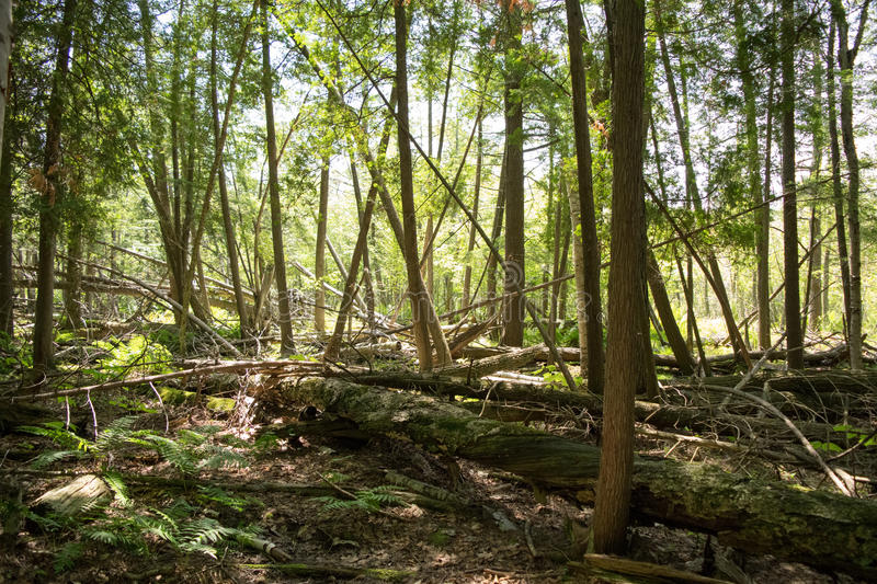 Fallen Trees in the Woods royalty free stock photos