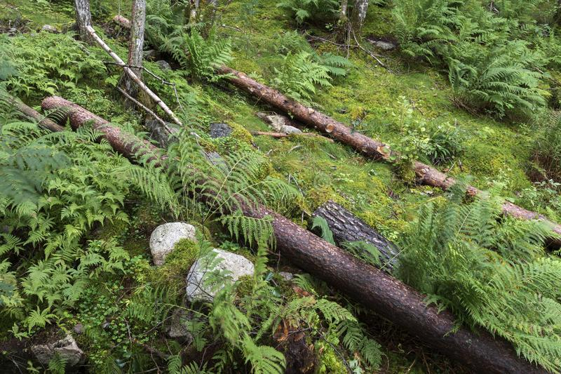 Fallen trees near Langfoss in Norway royalty free stock images