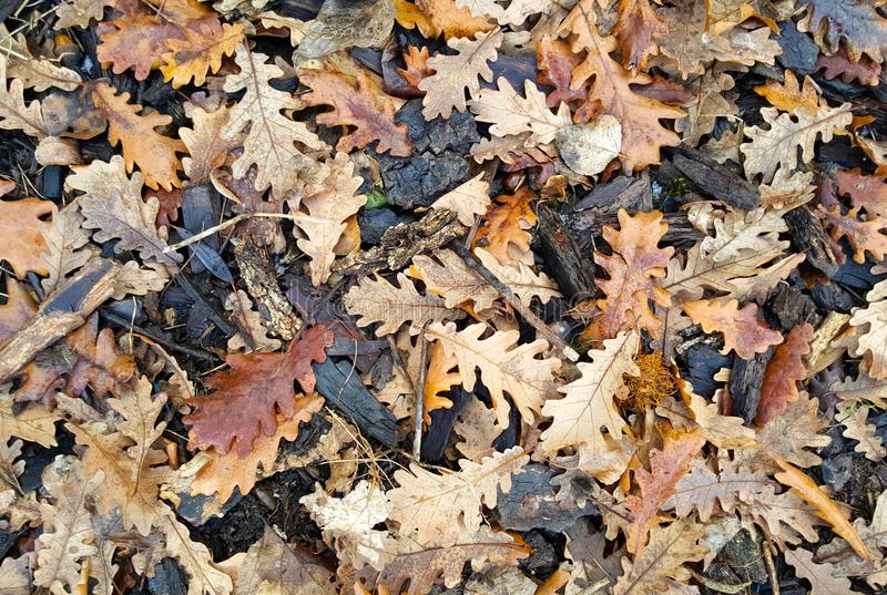 Fallen wet oak leaves and bark in winter royalty free stock photos