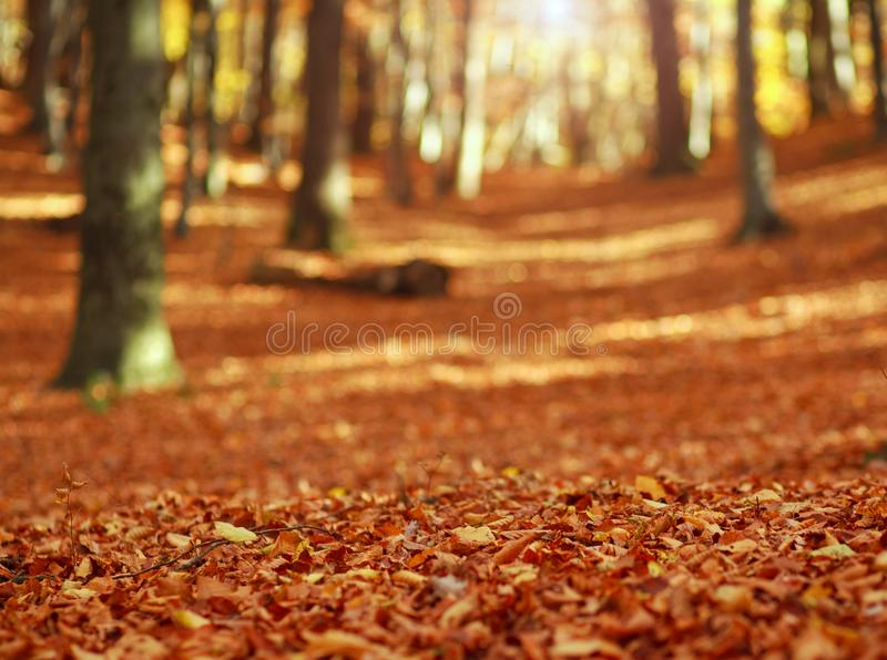 Fallen leaves in autumn forest at sunset on woods background royalty free stock images