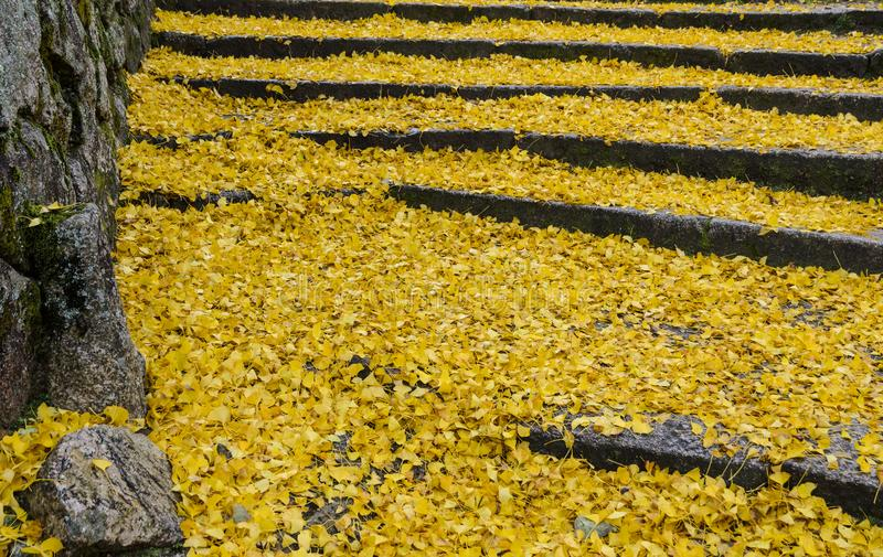 Fallen yellow leaves of ginkgo tree on steps royalty free stock image