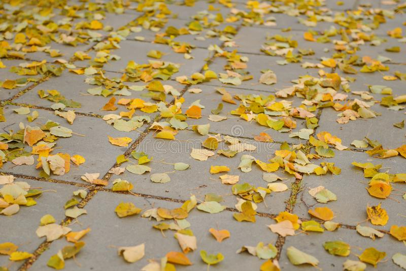 Fallen yellow leaves lie on pavement. Fallen yellow leaves lie on gray pavement tiles stock images