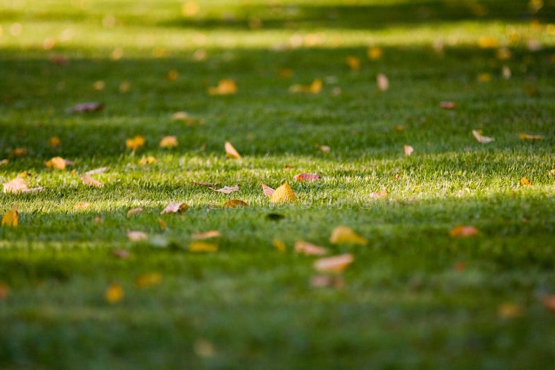 Late summer-early autumn fallen yellow leaves on trimmed green grass with beautiful shadows. Fallen yellow leaves on trimmed green grass with beautiful tree stock photos