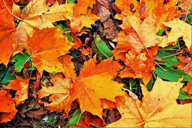 Fallen yellow, orange, and red maple autumn  leaves background. Fallen yellow, orange, and red maple autumn leaves background stock photo