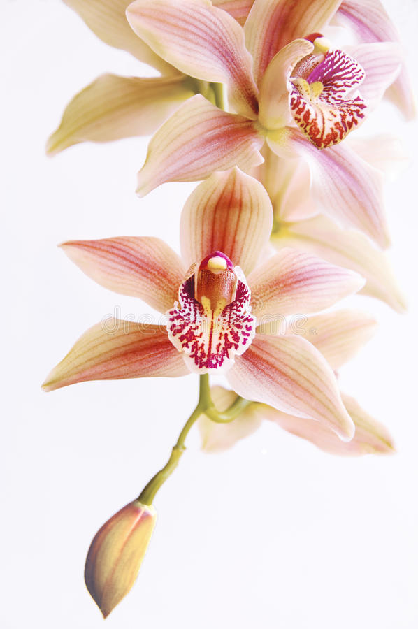 Fallende Orchidee stockfotos