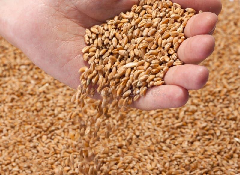 Fallende Weizenstartwerte für zufallsgenerator lizenzfreies stockfoto