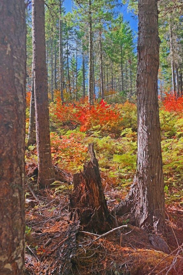 faller ljusa färger för abstrakt höst halvt för trevlig modell för leaves rött arkivbild