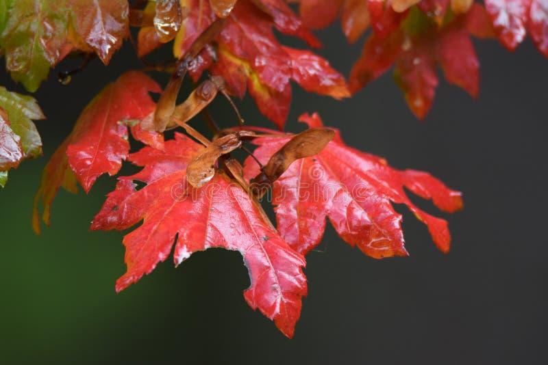 faller ljusa färger för abstrakt höst halvt för trevlig modell för leaves rött arkivbilder