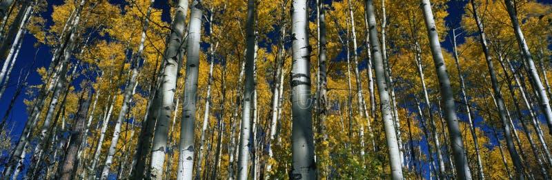 Fallespenbäume, Co stockfotografie