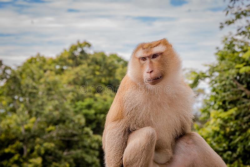 Fallhammer auf Baum Affe betrachtet Leute stockfoto