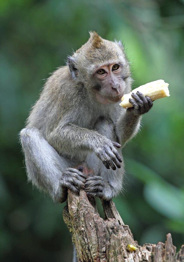 Fallhammer essen Banane lizenzfreie stockbilder