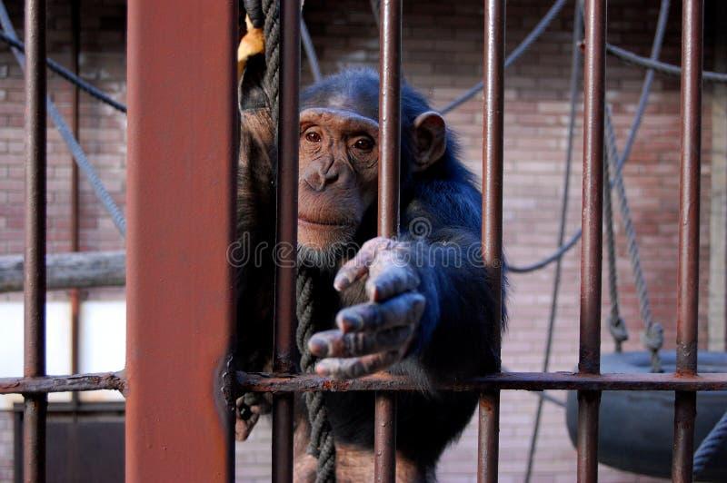 Fallhammer, Schimpanse, erreichend stockfotografie