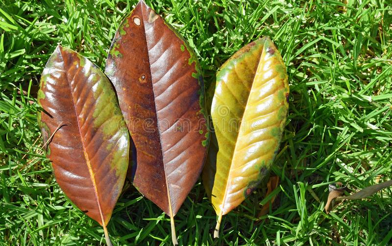 Fallen Magnolia leaves. Image shows a trio of fallin leaves from Southern Magnolia grandifolia trees. The leaves are in various state of losing their chlorophyll royalty free stock photography