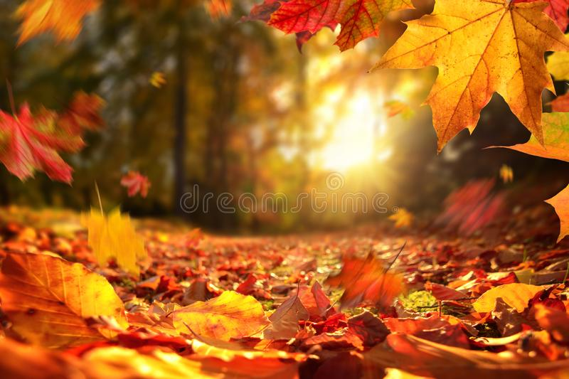Falling Autumn leaves before sunset. Lively closeup of falling autumn leaves with vibrant backlight from the setting sun royalty free stock images