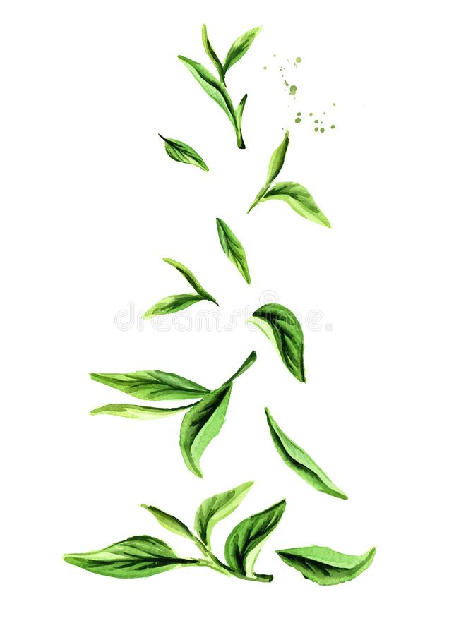 Falling Green tea leaves. Watercolor hand drawn vertical illustration, isolated on white background. vector illustration