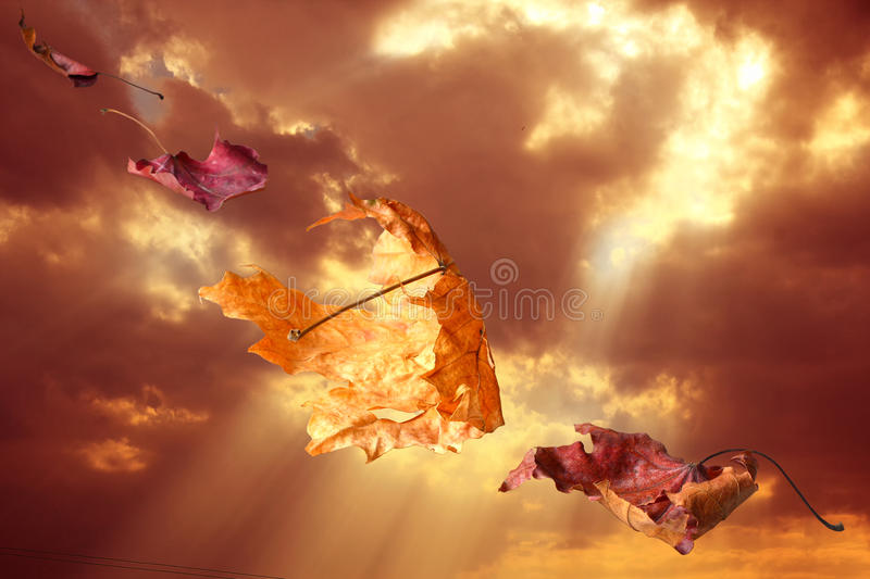 Falling Leaves in Autumn at Sunset. Falling dry maple leaves against the sky at sunset stock photos