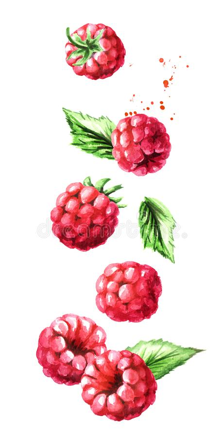 Falling ripe berries raspberry, vertical composition. Watercolor hand drawn illustration, isolated on white background royalty free illustration