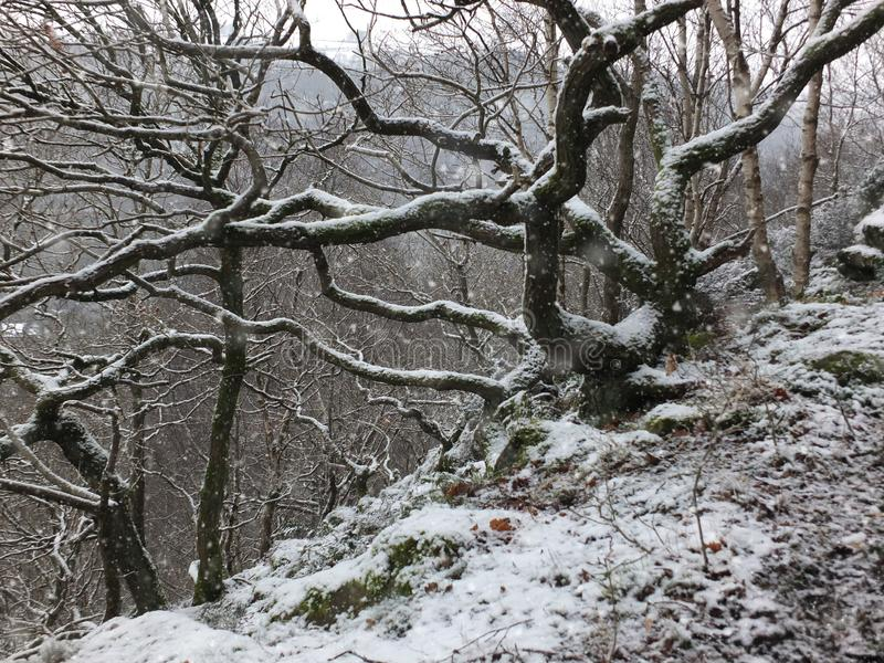Falling snow covering twisted trees and branches in a hillside forest with rocky ground. Falling snow covering dark twisted trees and branches in a hillside royalty free stock photo